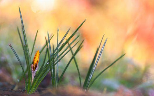 Обои Нераспустившийся бутон желтого крокуса в каплях утренней росы на размытом фоне
