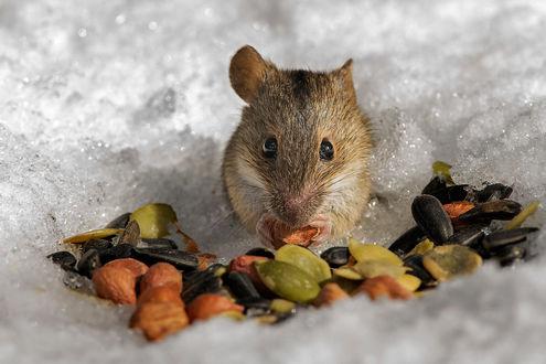 Обои Мышь-полевка, сидящая на снегу в окружении семечек, грецких орехов и других продуктов, автор Валерий Субачев