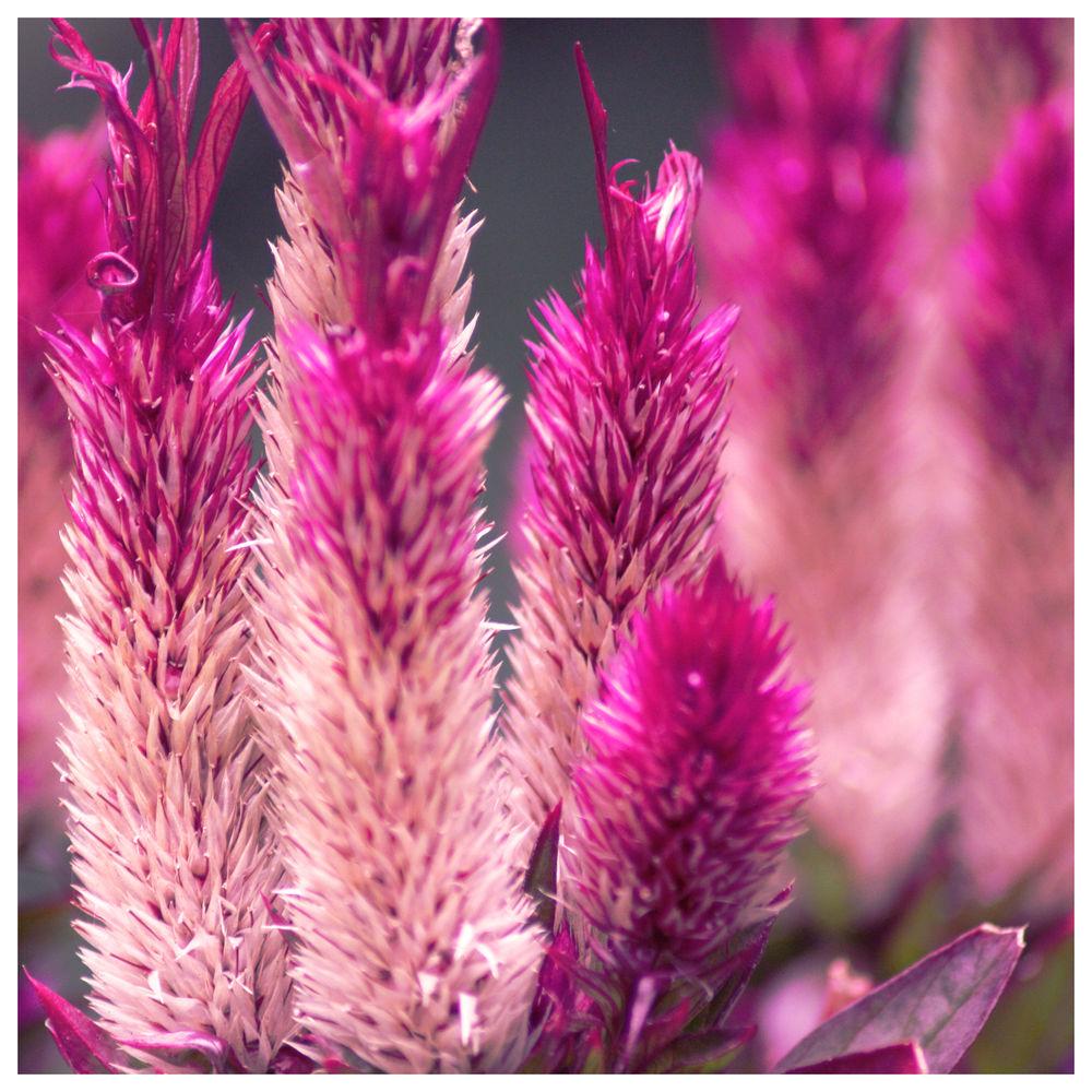 Цветы розовые пушистые