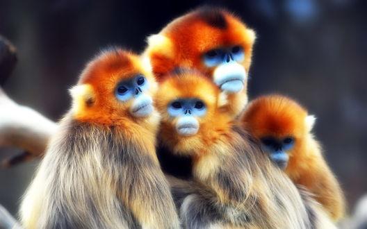 Обои Четыре обезьянки на сером фоне