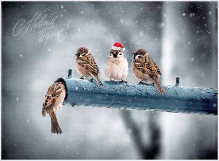 Обои Воробьи сидят на трубе, один из них в новогодней шапке, с новым годом, фотограф P Laura