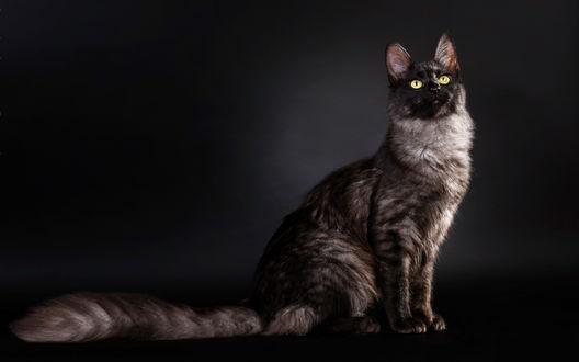 Обои Портрет желтоглазой кошки на темном фоне