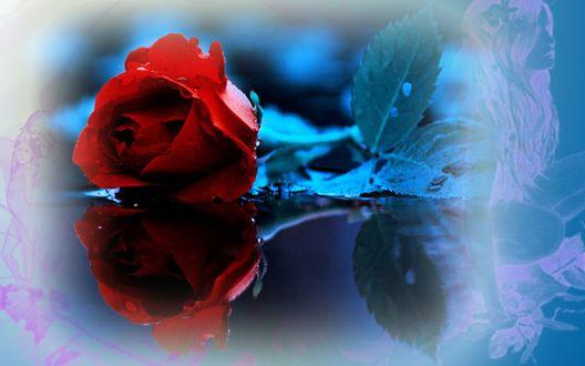 Обои Красная роза в каплях воды