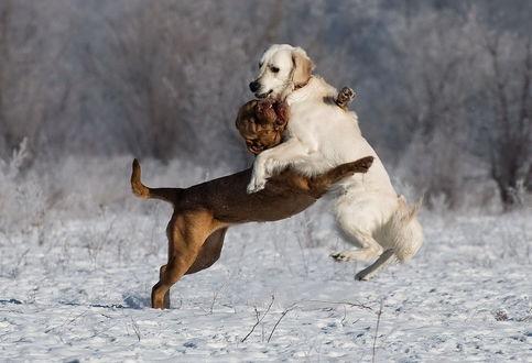 Обои Пара борющихся на снегу породистых собак, автор Марина Фомина