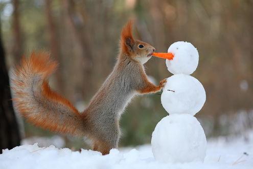 Обои Рыжая белочка, облокотившись передними лапками на снеговика, пытается вытащить свежую морковку, вставленную у него вместо носа, автор Вадим Трунов