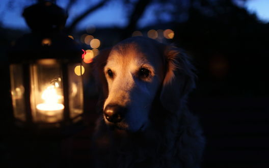 Обои Собака смотрит на светящийся фонарь