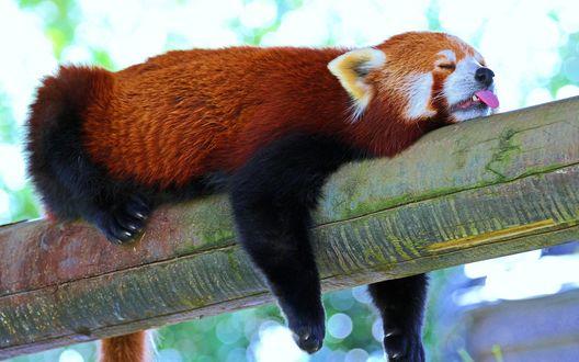 Обои Красная панда спит на бревне, свесив передние лапы и высунув язык