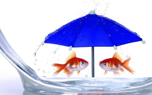 Обои Золотые рыбки плавают в аквариуме под синим раскрытым зонтиком