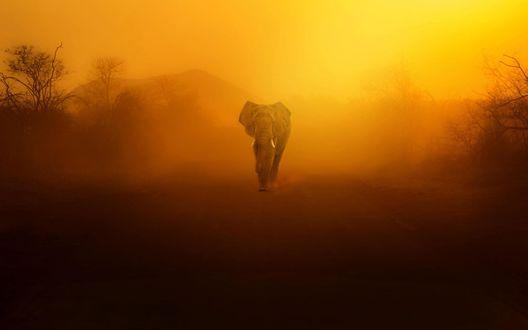 Обои Слон идет по пыльной дороге