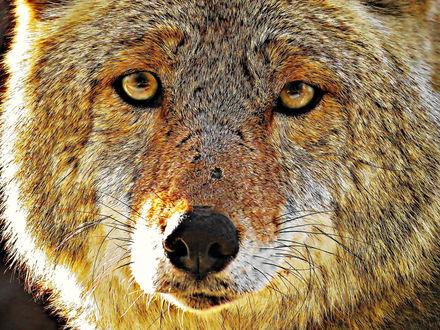Обои Морда волка крупным планом