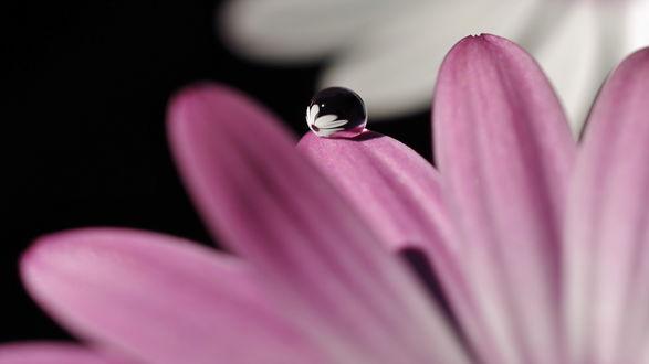 Обои Капля воды на розовых лепестках ромашки в которой отражается бутон белой ромашки