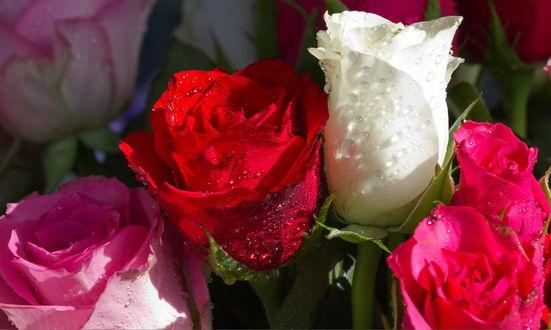 Обои Бутоны белых, розовых и красных роз в каплях утренней росы
