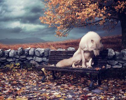 Обои Белый волк сидит на лавке с осенними листьями, by dresew