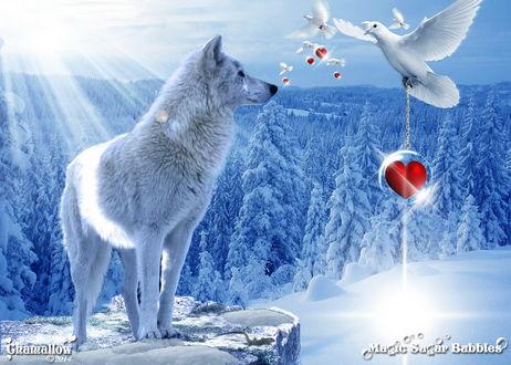 Обои Белый волк, стоящий на каменном, горном выступе в солнечных лучах, светящихся через заснеженный, хвойный лес, смотрит на белых голубей, держащих в лапах на цепочках прозрачные шары с красными сердечками внутри, автор MaGic-SuGar-Rubblec S
