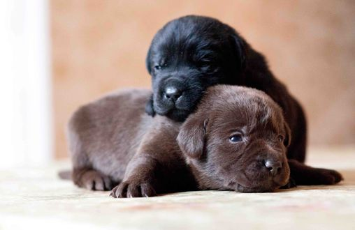 Обои Два щенка породы лабрадор