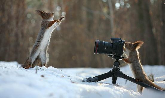 Обои Одна белка, стоящая на задних лапках на снегу, позирует перед объективом фотоаппарата, стоящего на штативе и другой белки, смотрящей в видоискатель, автор Вадим Трунов
