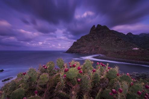 Обои Цветущие кактусы на берегу скалистой, морской бухты на фоне пасмурного, вечернего небосклона