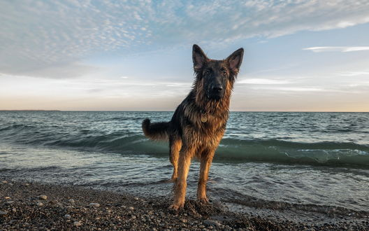 Обои Мокрая собака стоит на берегу моря