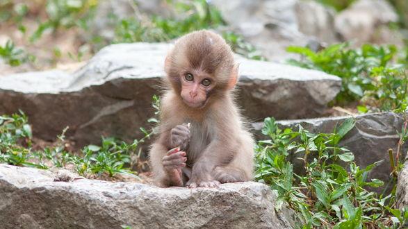 Обои Маленькая обезьянка сидит на камне
