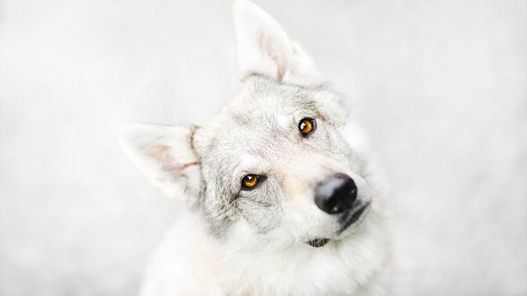 Обои Белая собака с желтыми глазами