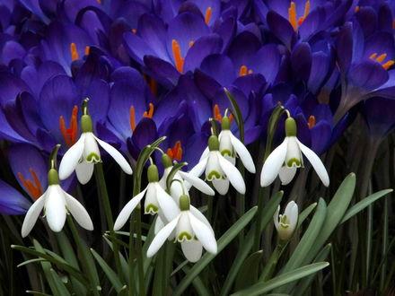 Обои Весенние подснежники и фиолетовые крокусы