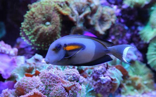 Обои Фиолетовая рыба посреди кораллов