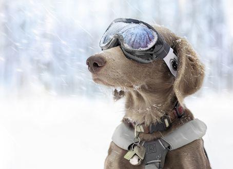 Обои Пес в горнолыжных очках