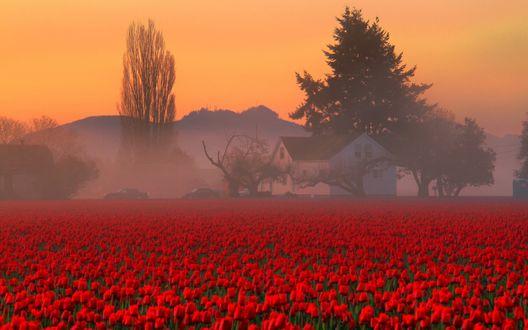 Обои Поле красных тюльпанов туманным утром, который клубится над горами, деревьями и домом, стоящих вдали