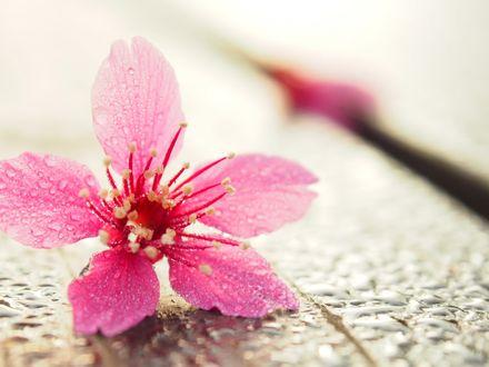 Обои Розовый цветок в каплях росы