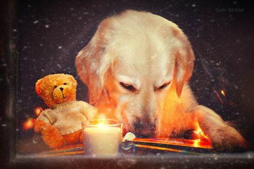 Обои Золотистый ретривер с игрушечным медведем за окном, ву Gabi Stickler