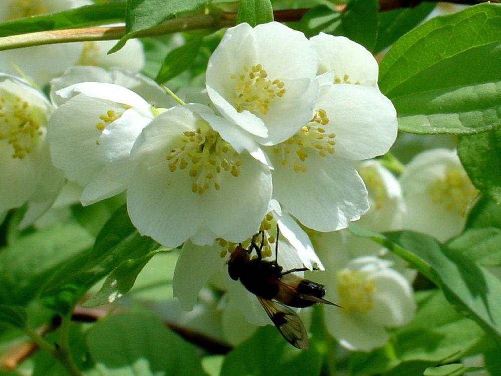 Обои для рабочего стола Пчела, сидящая на цветах жасмина