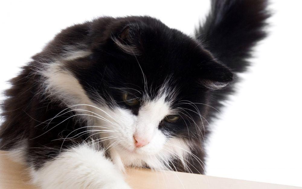 Черно белые сибирские кошки