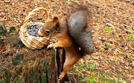 Обои Любопытная, рыжая белка засунула свою мордочку в корзину с семечками, стоящую на трухлявом пне