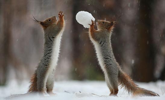 Обои Белки, играющие в снежки на заснеженной поляне, автор Вадим Трунов