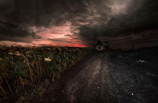 Обои Грунтовая дорога, проходящая вдоль подсолнечного поля со стоящим на обочине заброшенным домом на фоне заката на вечернем небосклоне с черными, перистыми облаками, автор Денис Бодров