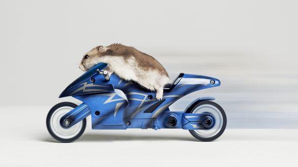 Обои Морская свинка едет на мотоцикле