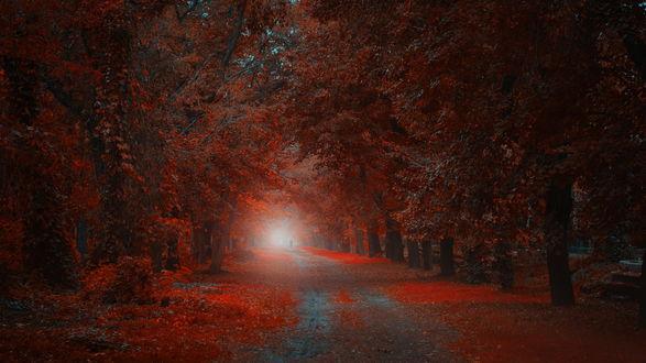 Обои Человек, идущий по грунтовой дороге, усыпанной красными, осенними листьями, проходящей через лесную рощу с туманным окном в конце дороги