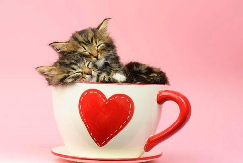 Обои В кружке с сердечком спят два котенка