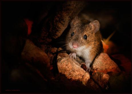 Обои Мышонок, сидящий среди камней и осенних листьев возле своей норки ночью, автор Валерий Субачев