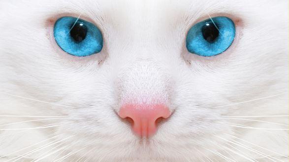 Обои Взгляд белой кошки с голубыми глазами