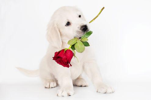 Обои Щенок белого ретривера, держащий в зубах красную розу