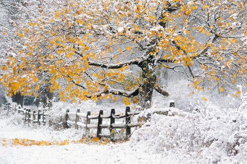 Обои Дерево с желтыми, осенними листьями, стоящее возле деревянного ограждения на поляне со свежевыпавшим снегом