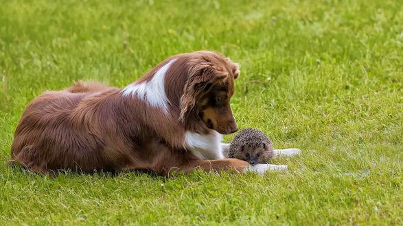 Обои Собака с ежиком лежат на зеленой траве