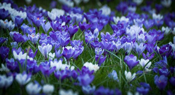 Обои Множество цветущих синих крокусов