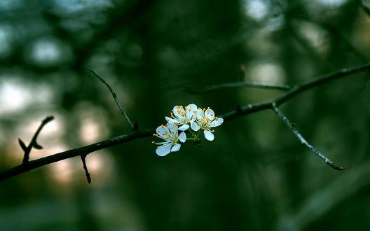 Обои Весенние цветы на ветке, by RyoThorn