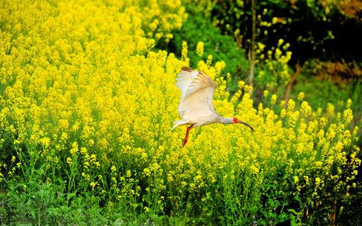 Обои Цапля над полем цветов