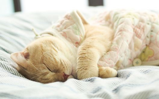 Обои Кот укрытый одеялом спит на кровати