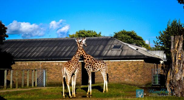 Обои Два жирафа около здания