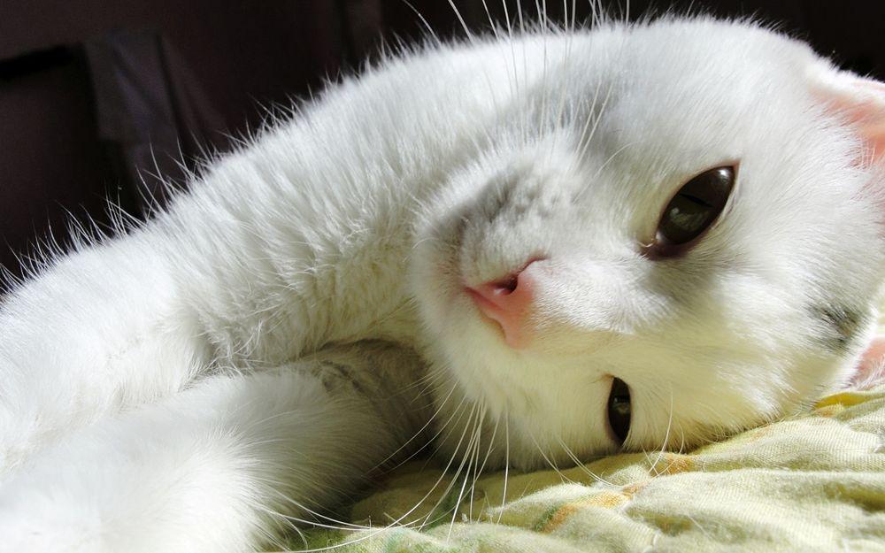 картинка на рабочий стол котики белые бесплатно