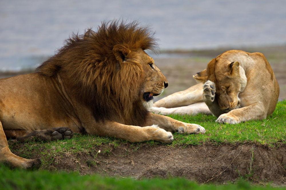 Львица и лев смешные картинки